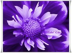 Violeta (akel_lke ) Tags: blanco rachel europa europe purple violet raquel lila murcia blanca margarita elke violeta rakel prpura morada malva espinardo regindemurcia rakelelke vilaceo