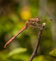 Darter (T_J_P) Tags: macro nature canon dragonfly reserve 100mm 5d marsh marazion mkiii f28l 5d3