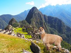 Cusco2 (Maribel Tello Leandro) Tags: verde cusco llama paisaje perú machupicchu turismo cultura indigenismo