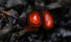 Scutellinia sp. (Javier Acevedoo) Tags: mxico mushrooms hidalgo pachuca mxico