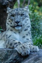 Baby, I'm the Cat (Roblawol) Tags: nyc newyorkcity ny newyork proud cat zoo centralpark manhattan leopard bigcat snowleopard carnivore donteatme zoologicalpark