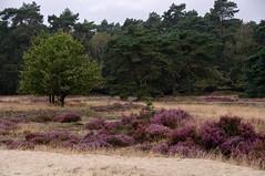 (hadewijch) Tags: nature netherlands scenery europe nederland heath land otterlo gelderland heathlands 18200mmf3556 nikond90