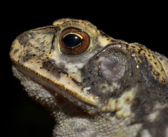 IMG_3284 color (Max Haddox) Tags: portrait macro animal toad planet bellows