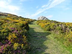 P1010325 (jrcollman) Tags: plants places devon dartmoor haytor ulexgallii eplant ericacinerea haytortohoundtor