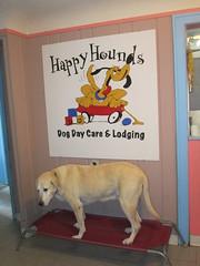 Luke! (happy_hounds) Tags: dogdaycare dog daycare puppy pups boarding cagefree dogsofflickr purebred rescuedog happyhounds plymouthmichigan happyhoundsdogdaycare
