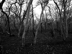 Forest (lasi410) Tags: wild bw nature forest landscape blackwhite jungle blacknwhite masinagudi mudumalai