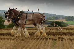 The ploughing match-34.jpg (Winniepix) Tags: county horse love field animal sussex earth farm country farming working match plow hay shire agriculture heavy society brass halter share plough tender mane agricultural bridle plait ploughing burwash heavyhorse countrypursuits southerncounties seamer countrysports bivelham espms