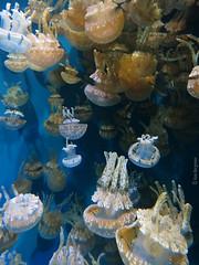 jellyfish medusae (Monterey Bay Aquarium) (wandering tattler) Tags: california animal fauna aquarium bay monterey marine jellyfish tank display montereybay creature bergman invertebrates 2014 medusae cnidaria