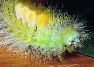 Pale Tussock (Calliteara pudibunda) caterpillar
