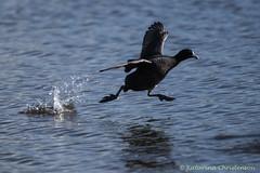 Running on water... (kasia-aus) Tags: bird nature water animal australia running canberra coot