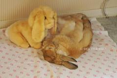 Nap Time *Ben* (Seattle Roll) Tags: rabbit bunny hollandlop