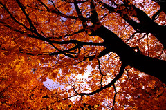 "Fiery Orange Maple leaves above • <a style=""font-size:0.8em;"" href=""http://www.flickr.com/photos/34843984@N07/15238665738/"" target=""_blank"">View on Flickr</a>"