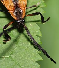 banded net-winged beetle (ophis) Tags: coleoptera calopteronreticulatum calopteron lycidae bandednetwingedbeetle lycinae