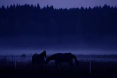 Blue Mood (Carolin de Verdier) Tags: blue horse mist silhouette fog skne sweden dusk sverige bluehour scania loh bl skugga dimma hstar sjbo siluetter bltimmen blton