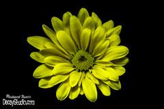 Little Yellow Beauty 1 (Richard-Scott) Tags: flower macro 50mm prime minolta sony maryland extension minoltamaxxum macrophotography extensiontube 50mmprimelens 50mmprime macroflower primelens macroextensiontube extentiontubes flowerphotography minolta50mm sonya33 slta33 sonyslt