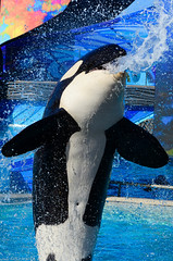 Gush (CetusCetus) Tags: show california water animal mouth sandiego dolphin alien belly whale orca seaworld shamu orkid killerwhale swc cetacean ventral oneocean swsd