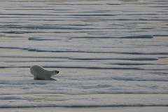 Crouching Large Adult Male Polar Bear Ice Floes Lancaster Sound Devon Island Canada Arctic (In Memoriam Ngaire Hart) Tags: bear travel sleeping summer cloud canada abstract male expedition nature weather reflections mammal photography evening still twilight kill moody dusk patterns smooth atmosphere pale naturalhistory arctic icefloes northamerica serene ripples prey polar predator relaxed habitat climate tranquil seaice northwestpassage dozing subtle ursusmaritimus otherworldly nanuk bergybits packice replete glacialice oneocean devonisland seabear canadianhigharctic lancastersound mirroredreflections akademicioffe eriagn ngairelawson ngairehart 70thanniversaryofthestroch