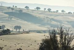 8157, DL42 and 8180 climb Tumulla Bank with the Down Cadia Ore Train, 9835 on a hazy Spring's morning. Main West, NSW, 20th September, NSW. (garratt3) Tags: west digital rural pentax rail railway australia nsw newsouthwales aus standardgauge dieselpower 81class dlclass mainwest oretrains dieselfreight