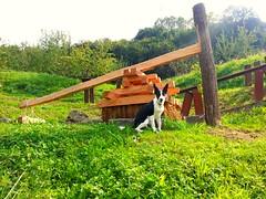 Museo de la sidra (Astigarraga) (santxopanza) Tags: puppy collie border cachorro museo sidra sagardo astigarraga