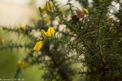 Portmeirion, ulex gallii, jdy258 XX201109154447.jpg (rachelgreenbelt) Tags: uk greatbritain wales europe unitedkingdom portmeirion fabaceae gorse gbr northwales leguminosae floweringplants furze peafamily whin ulex penrhyndeudraeth dicots eudicots fabales flowersyellow orderfabales familyfabaceae rosids beanfamily ulexgallii legumefamily dicotyledons westerngorse commongorse divisionmagnoliophyta fabaceaefamily dwarffurze fabalesorder gwyneddll486er