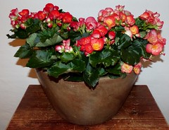 Begonien***Begonia (BrigitteE1) Tags: flower flora colorful blumen begonia begonien farbenpracht