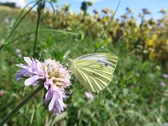 Butterfly 446 (+360000 views!) Tags: butterfly papillon borboleta mariposa farfalla schmetterling