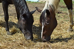 Miss Jill & Hank (CMMoss23) Tags: horses chickens nature animals outdoors cows farm goats mountians farmanimals babyanimals