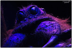 A Big Hairy Spider (Sharon Dow Photography) Tags: uk england hairy london halloween insect spider scary nikon witch wizard harrypotter spooky scared hogwarts harrypotterandthehalfbloodprince witchcraft watford warnerbros spells wizards harrypotterandtheprisonerofazkaban studiotour filmstudio warnerbrosstudios harrypotterandthegobletoffire harrypotterandthechamberofsecrets southengland leavesden scaryspider harrypotterandthephilosophersstone acromantula hogwartsschoolofwitchcraft harrypotterandthedeathlyhallows theforbiddenforest warnerbrosstudiotour harrypotterworld nikond7100 themakingofharrypotter harrypotterstudios sharondowphotography abighairyspider