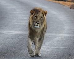Marakele Lion (jdkvirus) Tags: canon southafrica dawn lion safari explore jk bigcats limpopo big5 2014 africansafari malelion sanparks pantheraleo canonef100400mm marakele marakelenationalpark lenonglookout