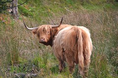 Fiona (Anne Oldfield) Tags: cute nature grass animal cow horns scottish beast highlandcow