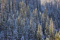 Cold Trees (JB by the Sea) Tags: canada rockies mirrorlake alberta banff rockymountains lakelouise banffnationalpark canadianrockies september2014