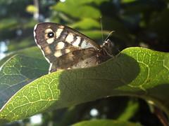 SAM_6395 (calicantus.calicantus) Tags: macro settembre farfalla parargeaegeria diospyroskaki