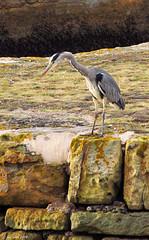 Heron - St Andrews (Lee6700) Tags: heron scotland fife standrews theeastneukoffife