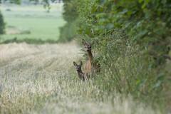 Deer Adult With Young (fotoequipp) Tags: nikon f45 300mm nikkor edif