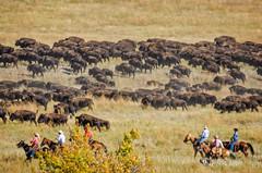 _RWB7398-Edit.jpg (Ron '53) Tags: horse southdakota unitedstates custerstatepark buffaloes fairburn