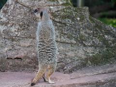 20140909-P1010609.jpg (Philip D Gale) Tags: camera autumn england animals zoo meerkat seasons devon paignton lumixg6