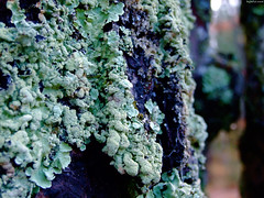 "Teal Green Lichen • <a style=""font-size:0.8em;"" href=""http://www.flickr.com/photos/34843984@N07/15402085946/"" target=""_blank"">View on Flickr</a>"