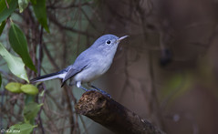 Blue Gray Gnatcatcher (Robert Strickland) Tags: flowers blue wild tree cute male bird nature beautiful up animal silhouette yellow fauna forest woodland outside outdoors spring call pretty branch natural wildlife small birding gray beak conservation environmental sing perch environment perched migration thorn ornithology birdwatching avian warbler ecosystem songbird caerulea bluegray gnatcatcher migrant passerine migrate polioptila sylviidae