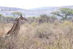 Tenderness (cocciula) Tags: africa animals fauna giraffe mammals namibia altezza viaggio animali tenderness giraffa coccole 2014 savana giraffacamelopardalis bellissime eleganza rimmel tenerezza africanmammals kameelperd mammiferi collolungo animalunga a6900kmdacasa