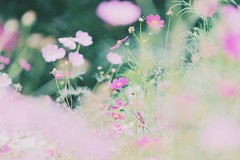 (sugaryxxx) Tags: autumn flower nature   cosmos bestshot
