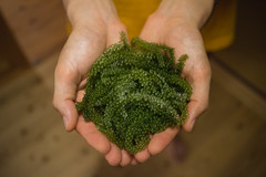 Umibudo, Okinawan sea grapes (SamKent22) Tags: food seaweed green japan japanese healthy asia seafood okinawa prefecture caulerpa seagrapes umibudo lentillifera