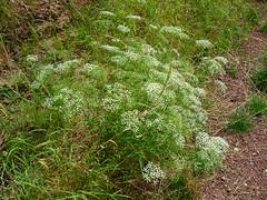 Sichelmhre (Jrg Paul Kaspari) Tags: flowers white flower fleur blte blten vulgaris weis dolde doldenblter falcaria godelheim falcariavulgaris ackerrand maygadessen sicheldolde sichelmhre wrmezeiger