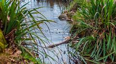 Grass (Khalid H Abbasi) Tags: nikon d90 earlsdon coventry england nature water outdoors grass reflections pond warmemorialpark