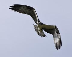 Boards out. (Jill Bazeley) Tags: pandion haliaetus osprey bird birding prey fish hawk flight feathers rectrices tailfeather merritt island florida wildlife