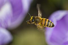 Yellow cap (jeansinclair1) Tags: bee honeybee inflight beeinflight pollen 11macro 52in2017challenge
