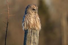 Dear Little Barred Owl (Leslie Abram) Tags: barred owl