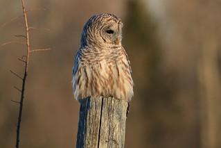 Dear Little Barred Owl