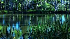 Calming REFLECTIONS (Lani Elliott) Tags: lanielliott lani elliottlani naturephotography nature water pond duckpond reflection reflections ripples trees bush plants rushes bulrushes glowing light radiant green australia tasmania scenictasmania scene view