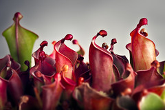 A Pall of Doubt Over The Despondent Masses (Hejemoni (@fbauzonx on Instagram)) Tags: helimaphora abstract nature art gardening carnivorous plants pitcher red green color colors texture lighting strobist 105mm sigma