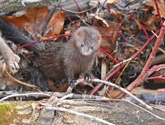 Mink (Peter Granka) Tags: hendrievalley hendrietrail royalbotanicalgardens rbg americanmink mink nature grindstonecreek petergranka